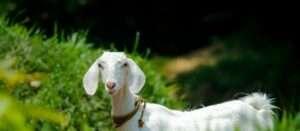 a goat in a pasture